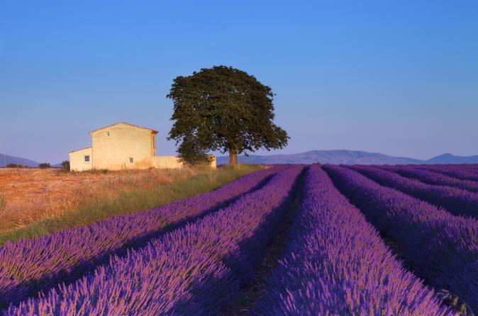 Лавандовые поля Франции – любовь с первого взгляда