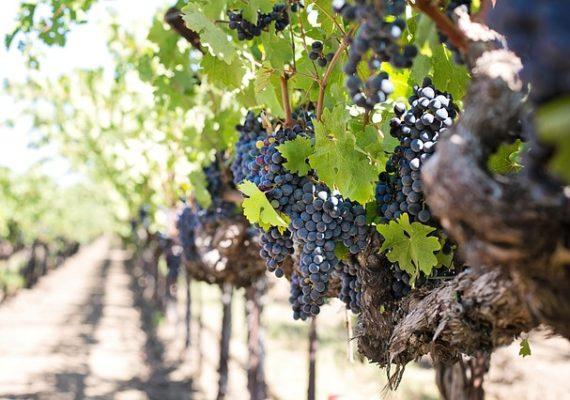 Франция: растут цены на виноградники