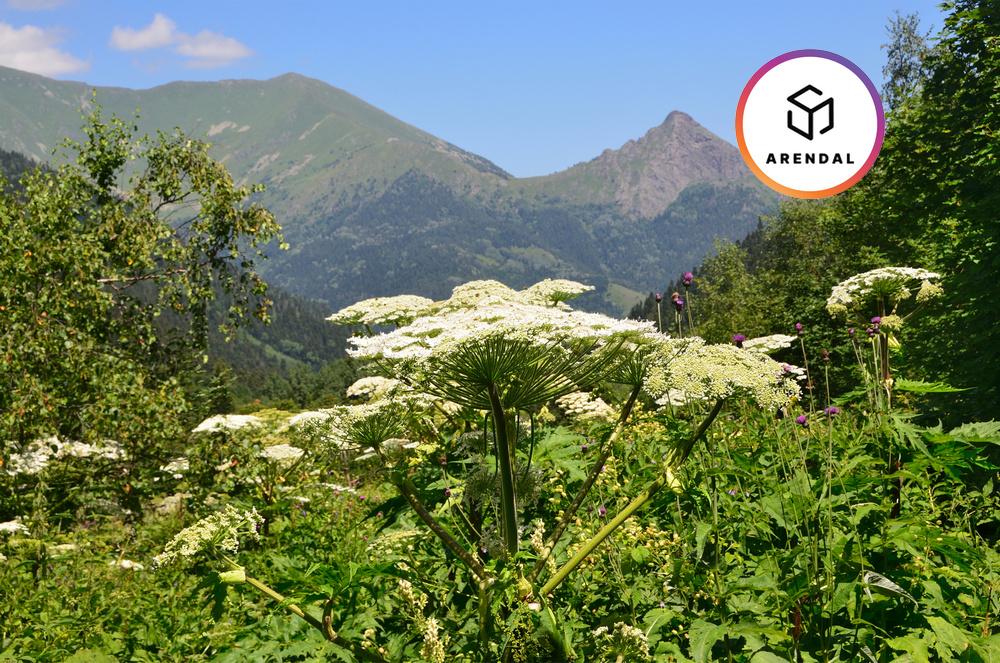 Борьба с борщевиком в Приморских Альпах